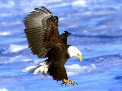 Bald Eagle Wallpaper. More Free PC Wallpaper for Your Desktop Backgrounds