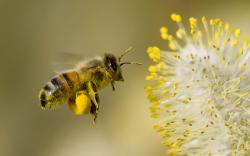 free Bee wallpaper wallpapers and background