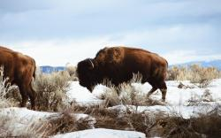 awesome american bison full screen high definition desktop background bison wallpaper image free