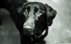 Black Lab Wallpaper 4152