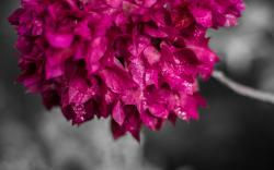 Free Bougainvillea Wallpaper