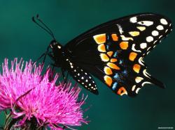 Free Animal wallpaper - Butterfly wallpaper - 1920x1440 wallpaper - Index 9.