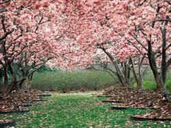 Cherry Blossom (1) ...