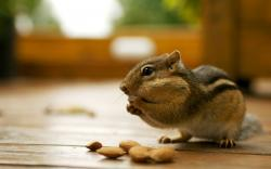 Free Chipmunk Wallpaper