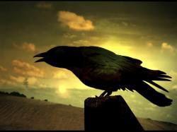 Free Crow Wallpaper