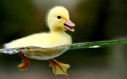 Free Widescreen Animals Duckling Desktop Wallpaper