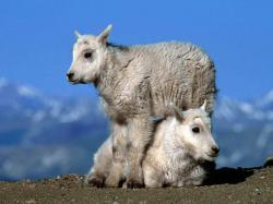 free Goat wallpaper wallpapers download