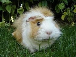 Free Guinea Pig Wallpaper 6750