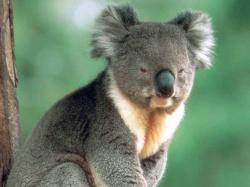 free Koala wallpaper wallpapers download