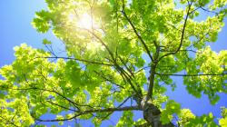 sycamore-tree-laptop-wallpaper.jpg