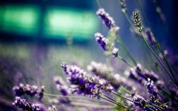 Free Lavender Wallpaper