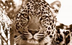 Free Leopard Background