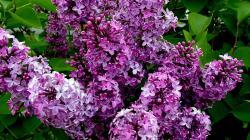 flower hydrangea lilac high quality wallpaper