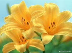 Free Flower wallpaper - Lily wallpaper - 1024x768 wallpaper - Index 13.