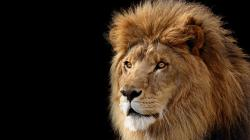 Download Lion Wallpapers 12637