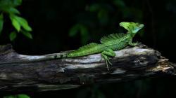 beautiful green lizard high definition wallpaper