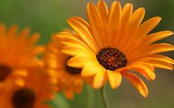 Free Orange Flowers Wallpaper