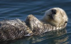 sea otter hd wallpaper