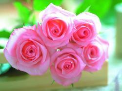 pink roses wallpaper free pink roses wallpaper wallpaper download