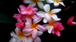 Of and Plumeria Wallpapers