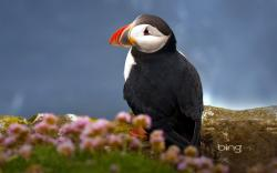 This is a wallpaper of Atlantic Puffin standing near the sea, and let's have a close look at the pretty Puffin-black body, white face and red bill, ...