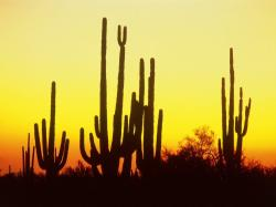 Saguaro Cactus At Sunset Arizona Wallpaper Details and Download Free