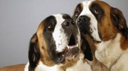 Free Saint Bernards Wallpaper 19591 1920x1200 px