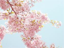 Free Sakura Wallpaper 20966 1920x1200 px