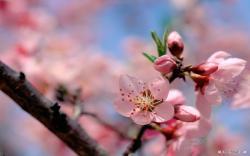 Free Flower wallpaper - Spring Flower wallpaper - 1440x900 wallpaper - Index 7.