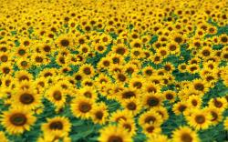 DOWNLOAD: Sunflower-Fields picture.jpg free picture 2560 x 1600