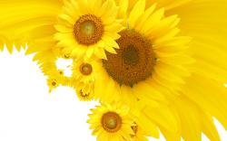 Free Sunflower Pictures 26849 1600x1200 px