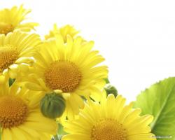 Wallpaper Free Sunflower For Android 5348