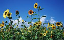 Free Flower wallpaper - Sunflower flowers wallpaper - 1920x1200 wallpaper - Index 17.
