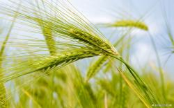 Free Nature wallpaper - Wheat Field 1 wallpaper - 1440x900 wallpaper - Index 2