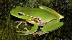 Leaf green tree frog wallpaper