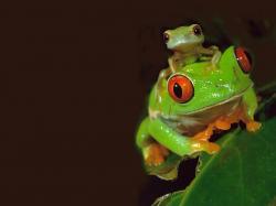 free Frog wallpaper wallpapers download
