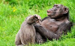 Funny chimpanzee