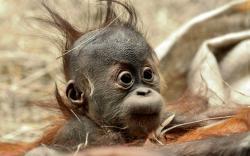 Funny Hair Baby Ape