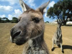 To set this Kangaroo-funny-face-wallpaper as wallpaper background on your Desktop, SmartPhone, Tablet, Laptop, iphone, ipad click above to open in a new ...