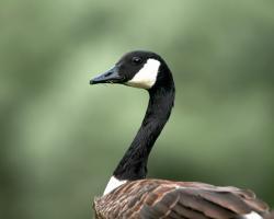 Geese Bird Wallpaper