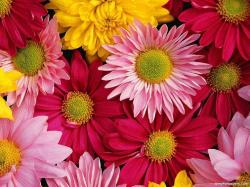 Gerber Daisies Flowers Gerbera Daisy Wallpaper #69601 - Resolution 1024x768 px