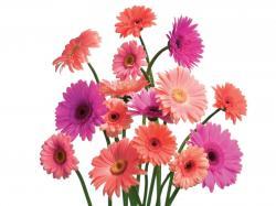 Gerbera Daisy Cluster