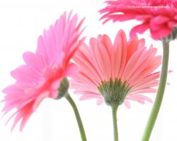 Click to go to Pink Gerber Daisies... The Ladies
