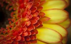 Gerbera Macro Flower Orange Petals