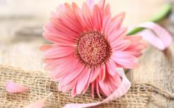 Gerbera Pink Flower Ribbon