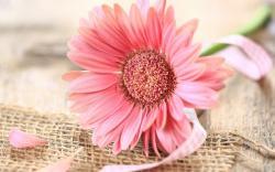 Gerbera Pink Flower Ribbon