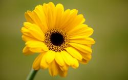 Gerbera Yellow Flower