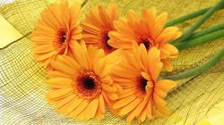 2048x1152 Wallpaper gerbera, flowers, yellow, mesh, lie