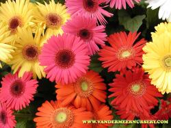 Latin name: Gerbera Origin: Rodina plant is South Africa Leaves: Gerber hardly needs description. Unusual when it is growing in a pot.