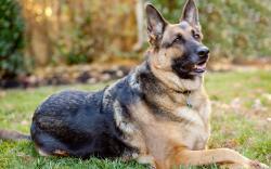 German Shepherd Dog- Photo#07